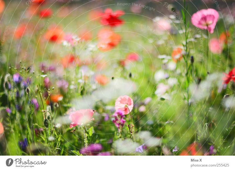 für Dich solls bunte Bilder und regnen Frühling Sommer Pflanze Blume Gras Blatt Blüte Blühend Duft Wachstum mehrfarbig Mohn Mohnblüte Mohnfeld Blumenwiese
