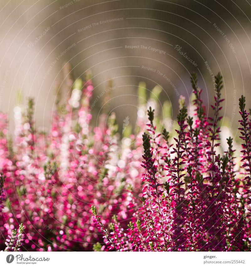 Für dich soll's bunte Bilder regnen Natur weiß schön Pflanze Blume Blatt Umwelt Blüte ästhetisch Wachstum Sträucher viele violett dünn Blühend Duft