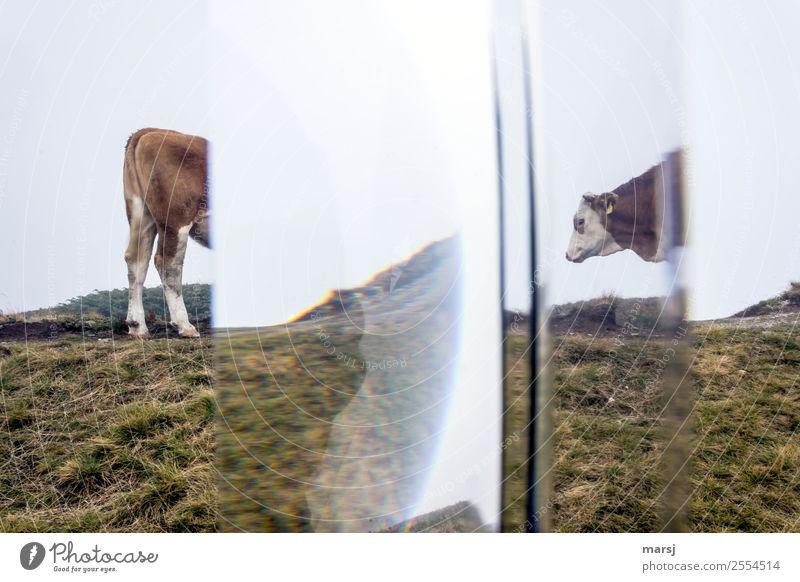 Krimi | gewaltsame Zweiteilung vom Almvieh! Natur Tier Berge u. Gebirge außergewöhnlich Alpen Rind Kalb geteilt Almwirtschaft