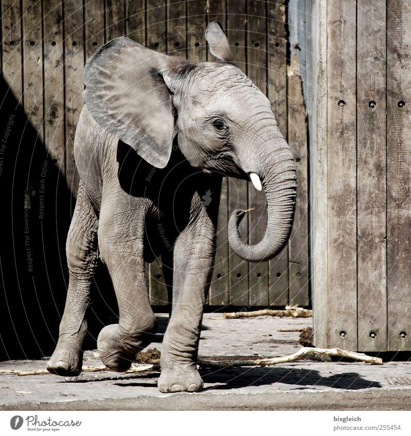 Dumbo Tier Wildtier Zoo Elefant Elefantenohren Rüssel Stoßzähne Elefantenhaut 1 Tierjunges Holz laufen klein niedlich braun grau Freude Glück Lebensfreude