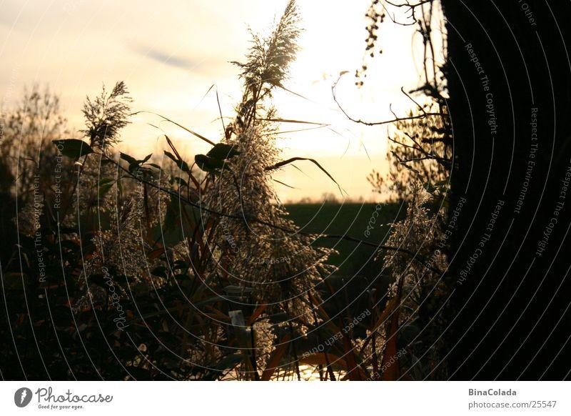 Golden Evening Sonnenuntergang Gras Schilfrohr Abend Dämmerung Abenddämmerung Himmel Natur