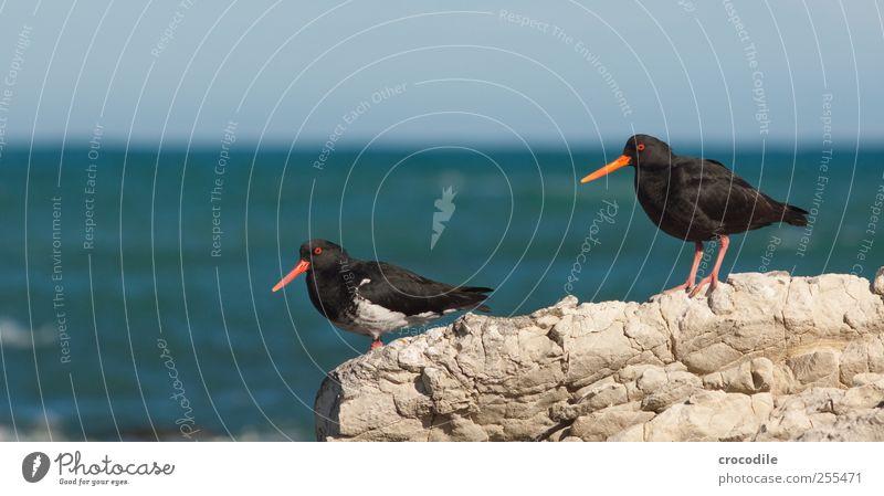 oystercatcher Natur Meer Strand Tier Umwelt Landschaft Küste Zufriedenheit Vogel Tierpaar ästhetisch Wildtier stehen Urelemente beobachten Schönes Wetter
