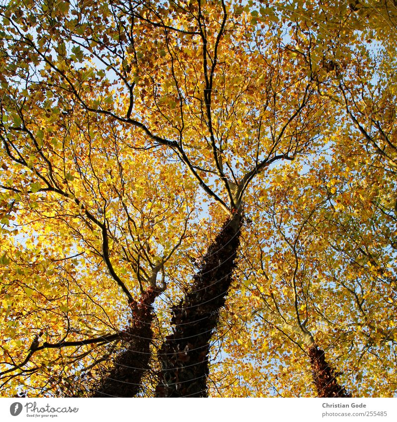 Für dich solls lauter Blätter regnen Himmel Natur blau Baum Pflanze Blatt Tier Wald gelb Herbst Umwelt Freiheit Landschaft Garten Luft Park