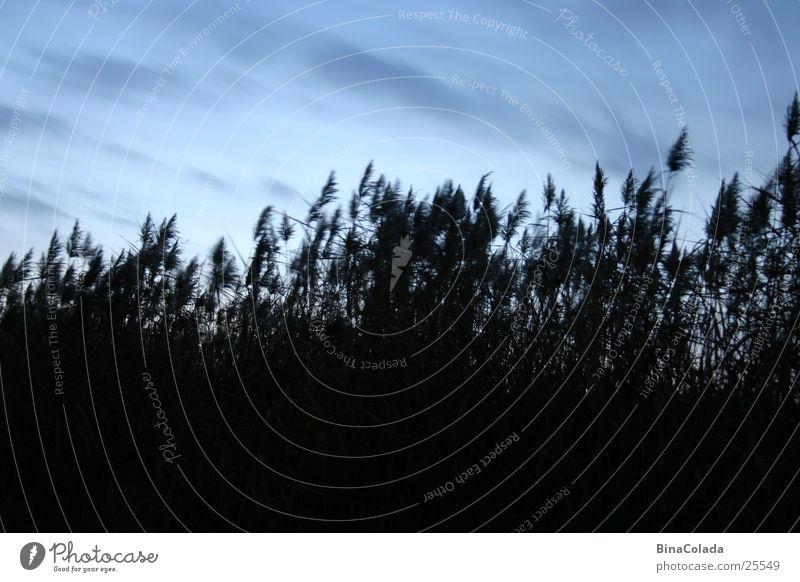Grasgeflüster Natur Himmel blau dunkel Schilfrohr Abenddämmerung