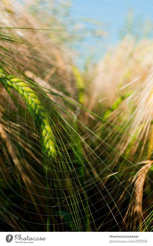 Im Gerstenfeld Natur grün Pflanze Sommer ruhig gelb Feld frisch Spitze einfach Sauberkeit Warmherzigkeit Getreide trocken lang nachhaltig
