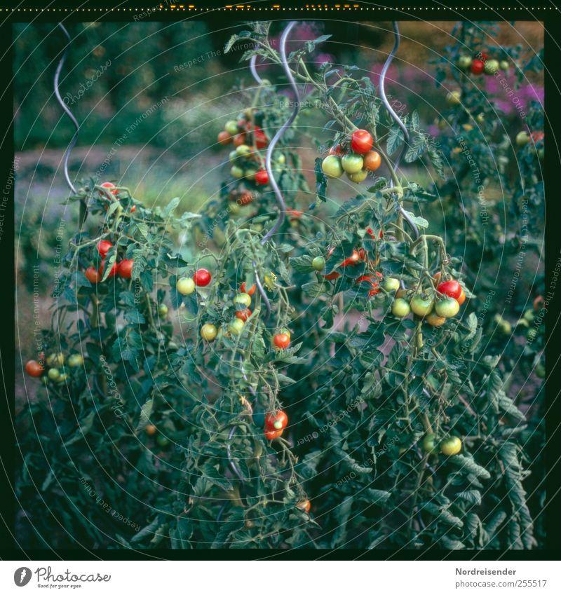 Für dich soll's bunte Bilder regnen Natur Sommer Pflanze Garten natürlich Lebensmittel Wachstum Ernährung Gesunde Ernährung Landwirtschaft Gemüse lecker Ernte