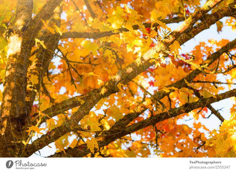 Natur Farbe Baum rot Blatt gelb Herbst Umwelt natürlich orange hell gold Schönes Wetter Postkarte Jahreszeiten Tapete