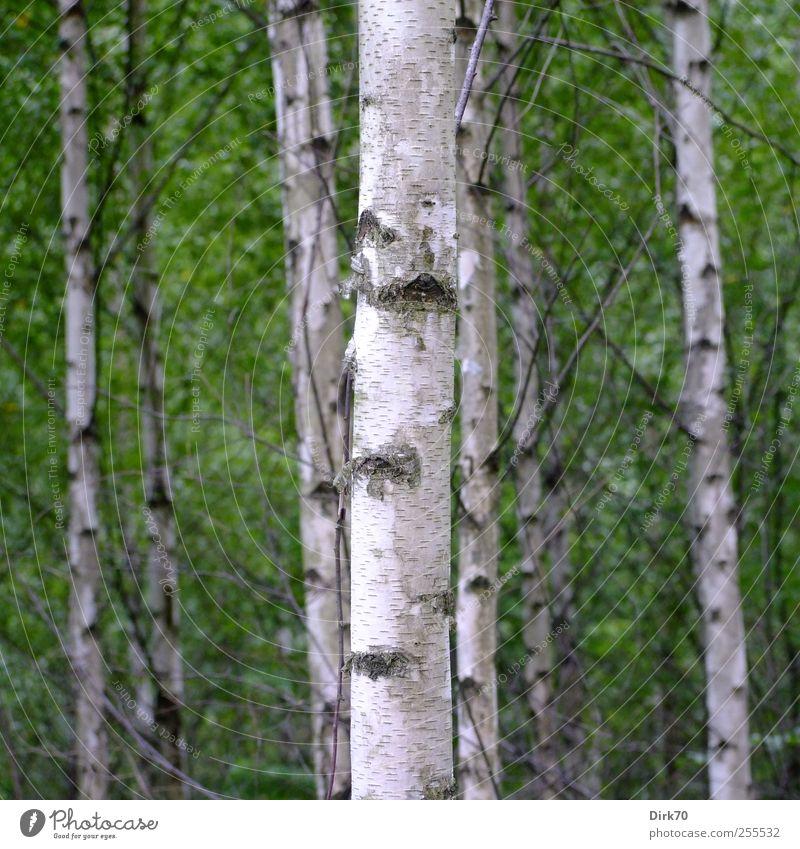 Schwedisches Birkenwäldchen Natur grün weiß Baum Pflanze Sommer Blatt schwarz Wald Leben Umwelt grau natürlich Wachstum stehen dünn