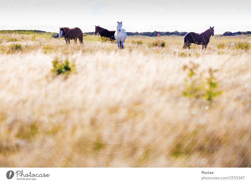 Islandpferde im Süden von Island II / II Freizeit & Hobby Reiten Ferien & Urlaub & Reisen Tourismus Ausflug Abenteuer Ferne Freiheit wandern Sport Reitsport