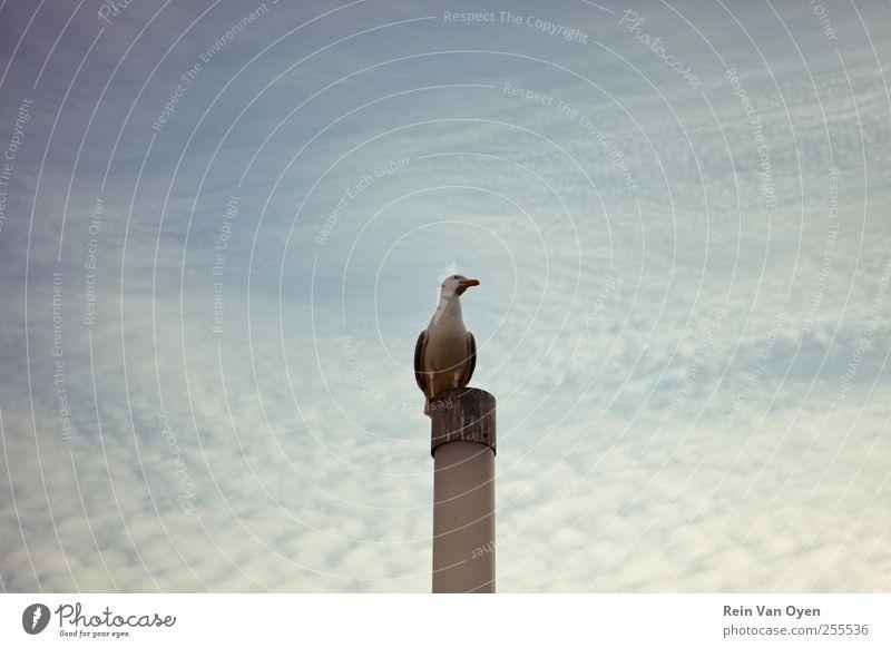 Himmel blau Wolken Tier Vogel beobachten Hafen Möwe Pfosten zentral purpur Wolkenhimmel