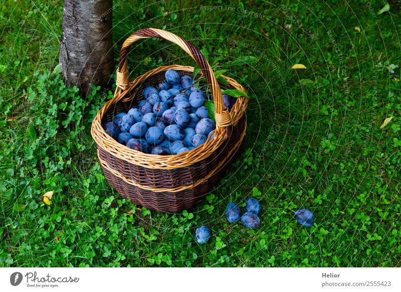 Zwetschgenernte Lebensmittel Frucht Bioprodukte Sommer Garten Natur Baum Gras frisch Gesundheit saftig süß blau braun grün genießen Pflaume Korb Ernte