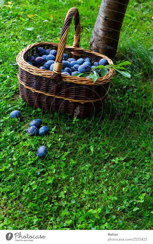Zwetschgenernte Lebensmittel Frucht Dessert Bioprodukte Sommer Garten Natur Herbst Baum Gras Essen frisch Gesundheit lecker saftig blau braun grün genießen