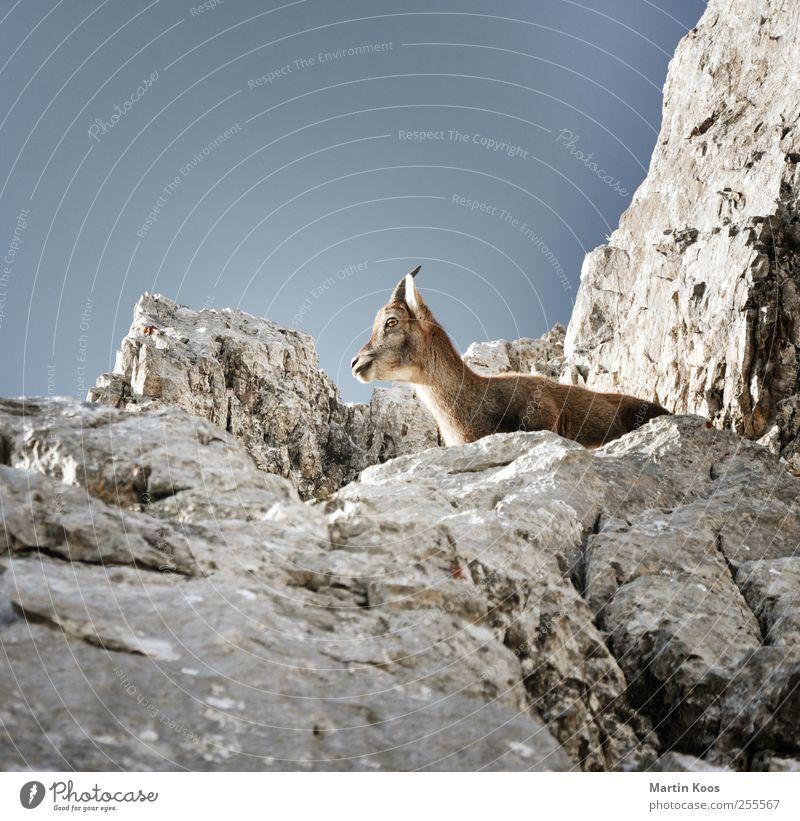 Böckchen Natur Tier Berge u. Gebirge Freiheit Tierjunges Felsen Wildtier warten beobachten Fell Tiergesicht Aussicht Horn himmelblau Ziegen Bock