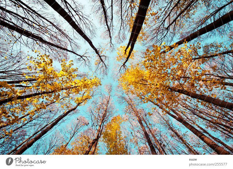 Fluchtweg Landwirtschaft Forstwirtschaft Umwelt Natur Landschaft Pflanze Himmel Herbst Klima Schönes Wetter Baum Wald leuchten groß hoch blau gelb ästhetisch