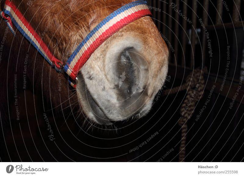 Isländer Schnute brünett weißhaarig kurzhaarig Pferd 1 Tier Stahl Rost Knoten braun Pferdeschnauze Island Ponys Mund Schnauze Maul Halfter Seil Stall