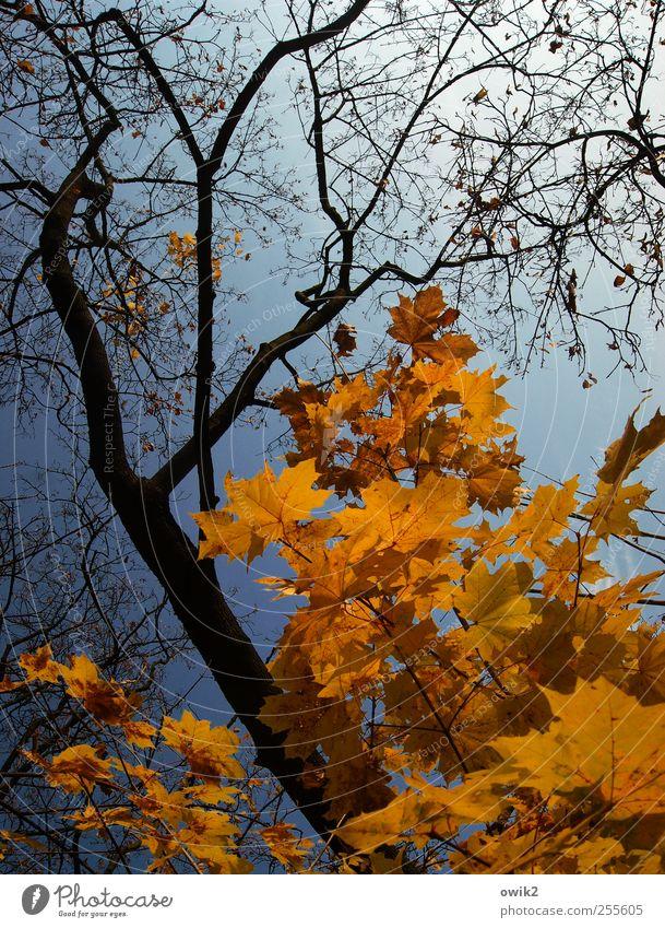 Herbstpalette Umwelt Natur Landschaft Pflanze Luft Wolkenloser Himmel Klima Wetter Schönes Wetter Baum Blatt Wildpflanze Zweige u. Äste Bewegung fallen leuchten