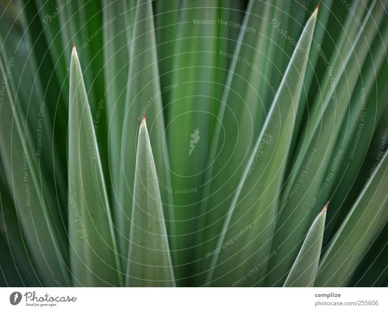 Grün & Spitz Umwelt Natur Pflanze Kaktus Blatt Grünpflanze exotisch grün stachelig Stachel Strukturen & Formen Hintergrundbild Farbfoto Detailaufnahme Tag
