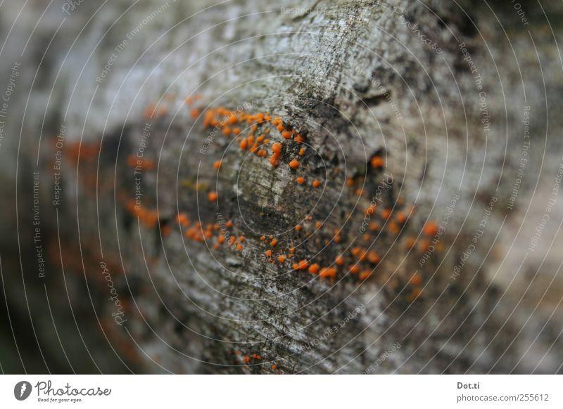 Xylobiont Natur Pflanze Baum Baumpilz orange besiedeln Totholz Baumrinde Pilzbefall Symbiose Farbfoto Gedeckte Farben Außenaufnahme Nahaufnahme Detailaufnahme