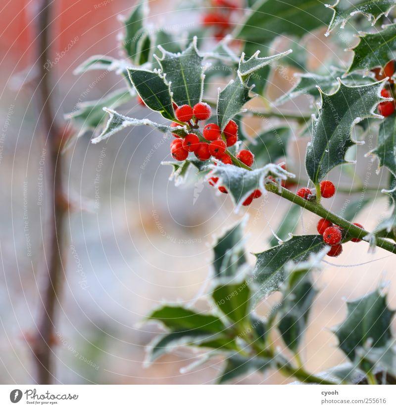 Der erste Frost... Natur Pflanze Winter Eis Blatt Grünpflanze Garten kalt rot leuchten leuchtende Farben Ilex Ilexblatt Weihnachten & Advent Winterstimmung