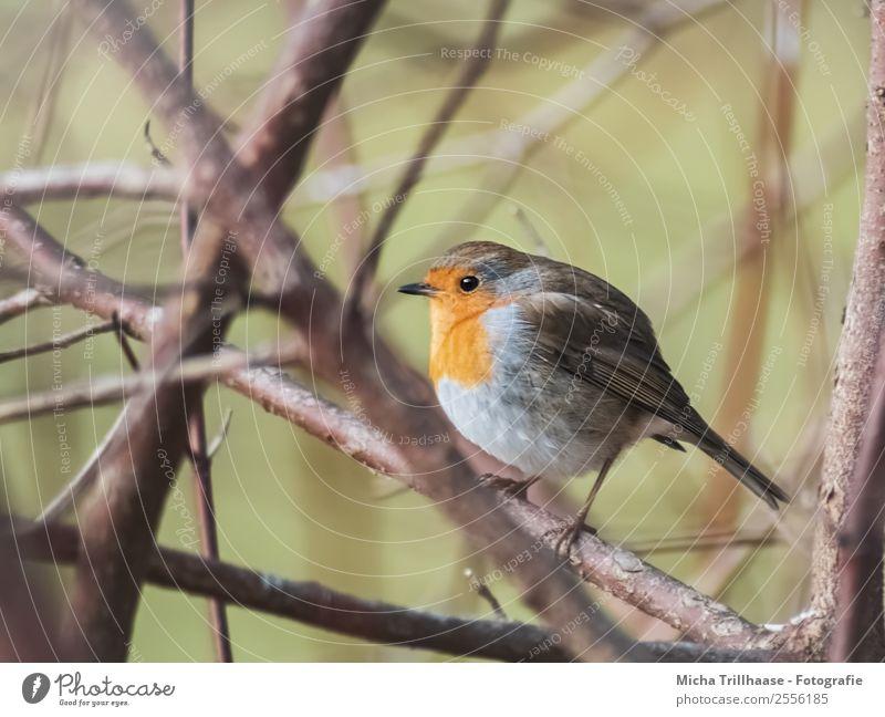 Kugelrundes Rotkehlchen Natur Pflanze blau grün Sonne Baum Tier gelb Auge natürlich Vogel orange leuchten Wildtier stehen Feder