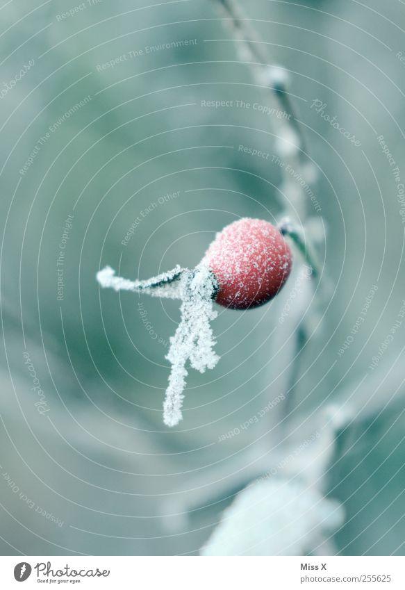 Hagebutte Winter schlechtes Wetter Eis Frost Schnee Sträucher Blatt kalt Hagebutten Hundsrose Raureif Ast Zweig Zweige u. Äste Farbfoto Außenaufnahme