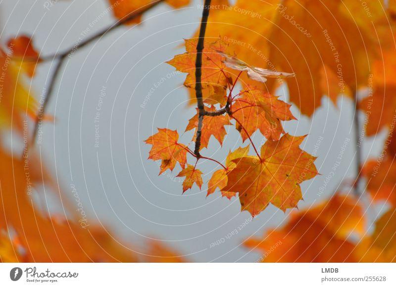 Goldener Durchblick Umwelt Natur Pflanze Baum Blatt gelb gold orange Herbstlaub Ahornblatt Ast Farbfoto Außenaufnahme Textfreiraum links Textfreiraum rechts Tag