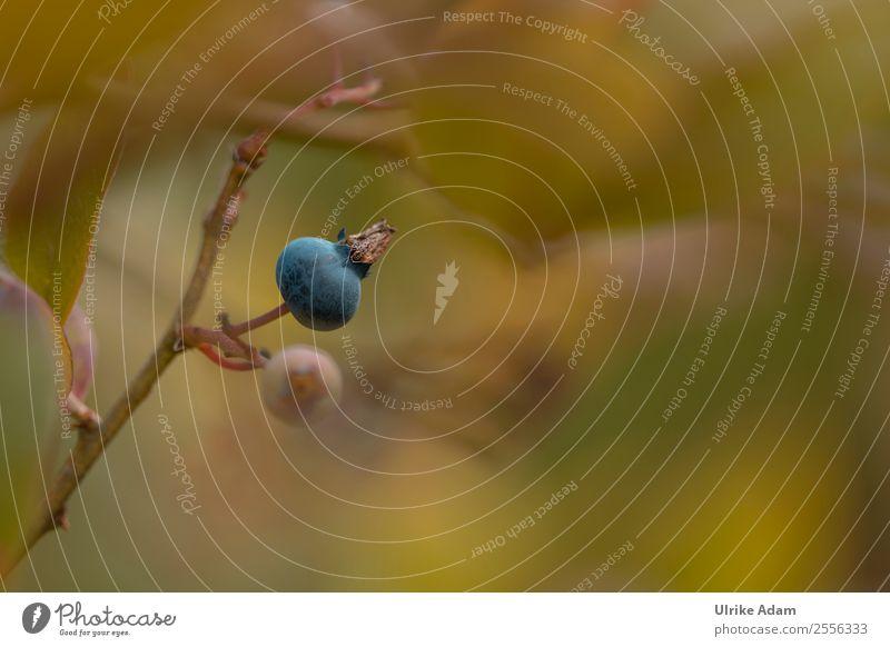 Heidelbeere Frucht Blaubeeren Natur Pflanze Sommer Herbst Sträucher Blatt Beeren Beerensträucher Garten Essen genießen frisch blau grün Vorfreude weich
