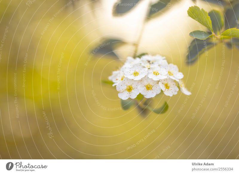 Blüten der Prachtspiere Natur Sommer Pflanze schön grün weiß Erholung ruhig Herbst Feste & Feiern Design Dekoration & Verzierung elegant Sträucher Blühend