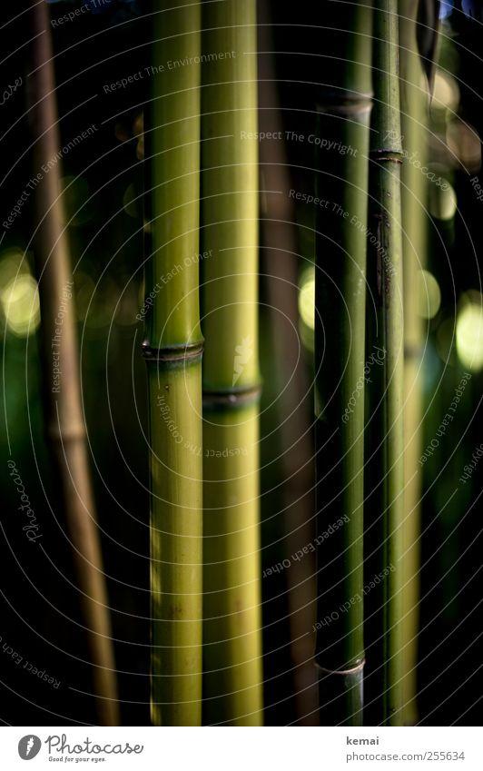 Bambus Umwelt Natur Pflanze Grünpflanze Wildpflanze Bambusrohr Park Urwald Zoo Wachstum dunkel grün gerade Farbfoto Gedeckte Farben Außenaufnahme Nahaufnahme
