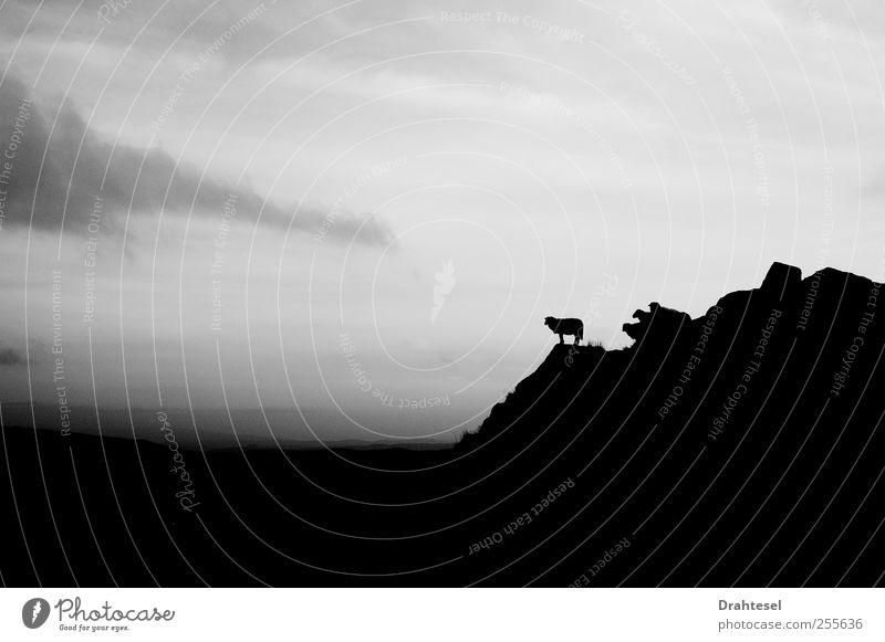 Denker-Schaf Himmel Natur Ferien & Urlaub & Reisen Wolken Tier ruhig Ferne Umwelt Berge u. Gebirge Freiheit grau Luft Wetter Wind Felsen Nebel