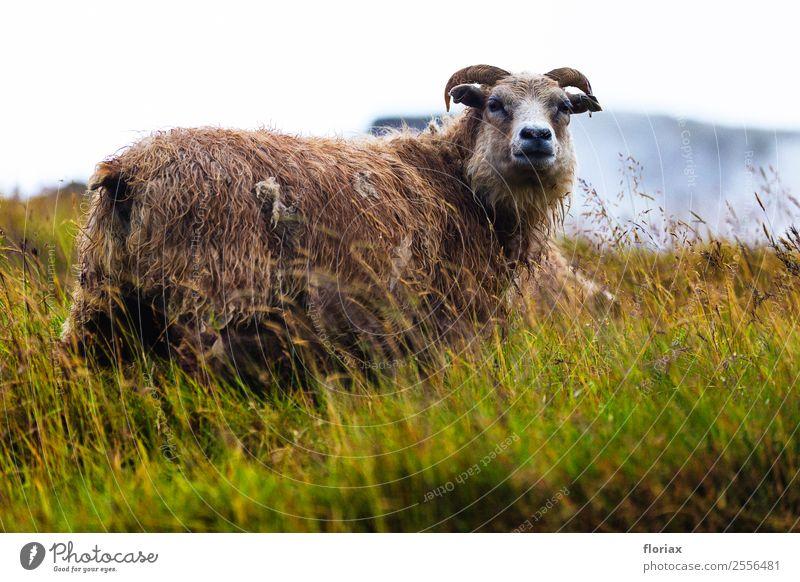Isländisches Schaf im Hochland Ferien & Urlaub & Reisen Ausflug Abenteuer Ferne Freiheit Berge u. Gebirge wandern Umwelt Natur Landschaft Tier Luft Klima