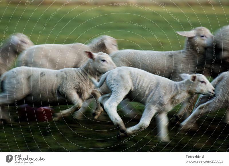 Chamansülz | hunt Schaf Lamm rennen laufen Spielen schlagen fangen Wiese grün saftig Morgen Bewegung klein weiß Fell weich öhrchen.
