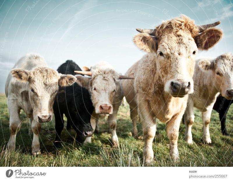 Kleine Mühen mit den Kühen Bioprodukte Natur Tier Wiese Nutztier Kuh Tiergruppe Herde schön natürlich niedlich Tierliebe Landleben Biologische Landwirtschaft