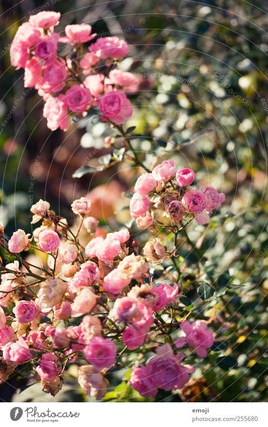 la vie en rose Pflanze Blume Sträucher Rose Blatt Blüte natürlich rosa Farbfoto Außenaufnahme Nahaufnahme Detailaufnahme Menschenleer Tag Schwache Tiefenschärfe