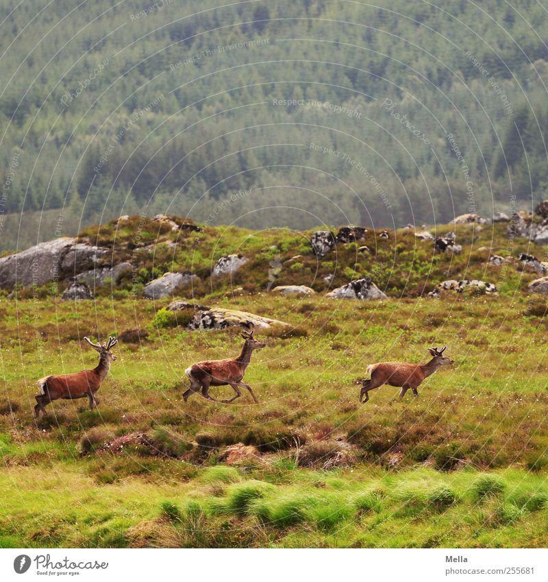 Dreierlei Hirsch Natur grün Tier Wiese Umwelt Landschaft Freiheit Berge u. Gebirge Bewegung Zusammensein laufen Felsen frei natürlich wild Wildtier