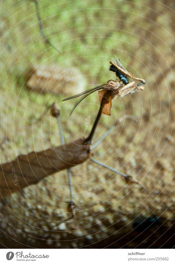 Abendmahl Tier außergewöhnlich Insekt exotisch Fressen Fühler Tarnung Terrarium Schmeißfliege Gottesanbeterin Fangschrecken