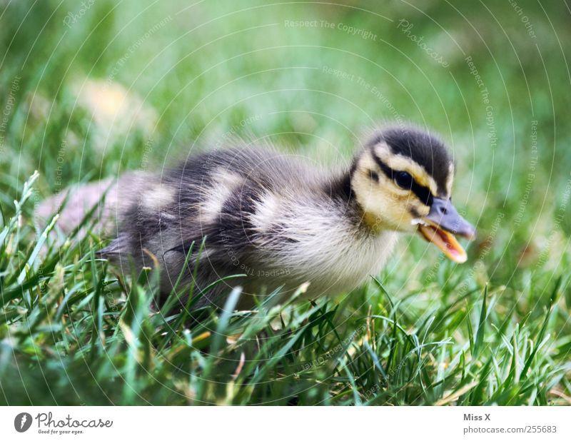 Flauschiges Ding Gras Wiese Tier Nutztier Wildtier Vogel 1 Tierjunges niedlich klein Ente Entenküken Küken Flaum weich Farbfoto Außenaufnahme Nahaufnahme