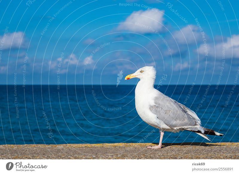 Möwe an der Ostseeküste in Warnemünde Erholung Ferien & Urlaub & Reisen Tourismus Meer Tier Wasser Wolken Küste Vogel blau Idylle Natur Umwelt Seevogel Mole