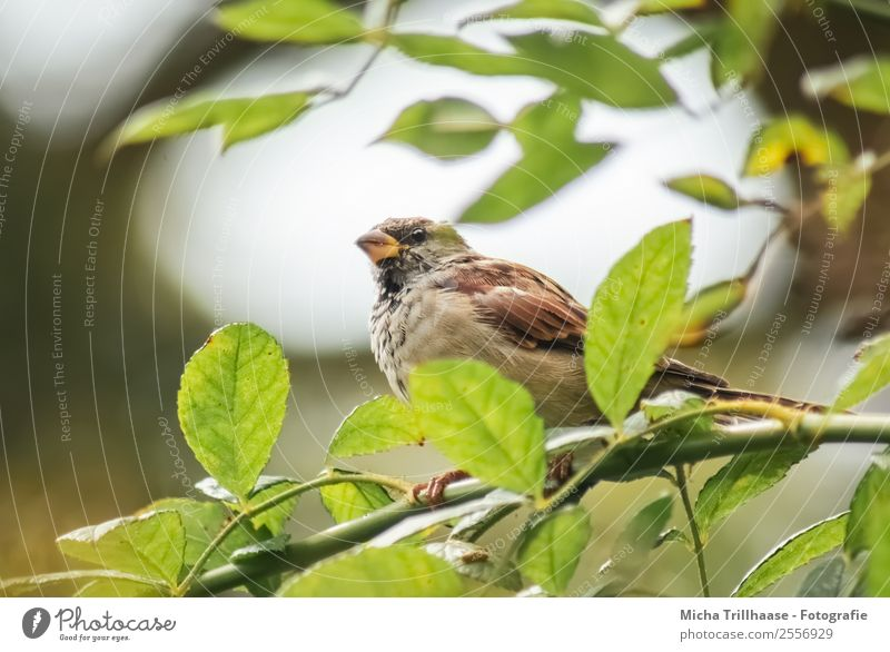 Spatz im Baum Natur grün Sonne Tier Blatt ruhig gelb natürlich Vogel orange braun fliegen leuchten Wildtier sitzen