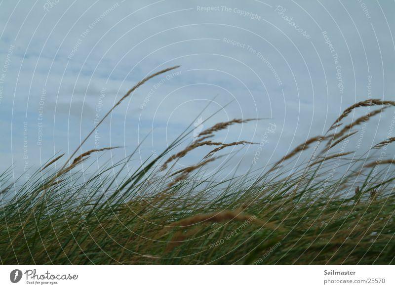 Seegras Herbst Gras Wind Schilfrohr Nordsee Seegras