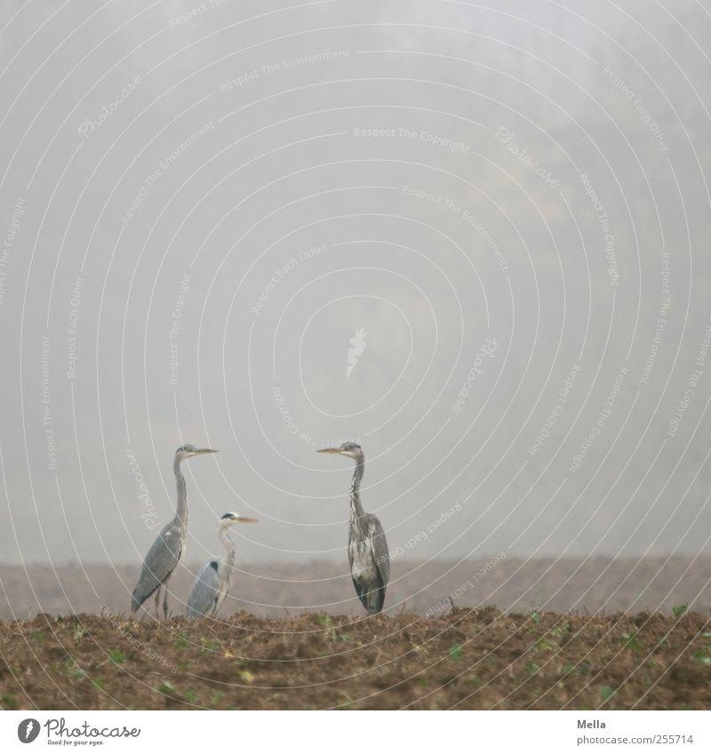 Dreierreiher Umwelt Natur Landschaft Tier Erde Nebel Feld Vogel Reiher Graureiher 3 Blick stehen frei Zusammensein natürlich trist grau Pause Farbfoto