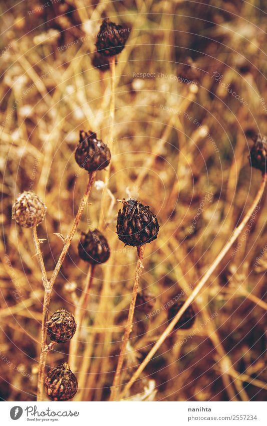 Goldene getrocknete Pflanzen im Herbst Umwelt Natur Sommer Schönes Wetter Grünpflanze Wildpflanze natürlich schön trocken Wärme wild braun gold herbstlich