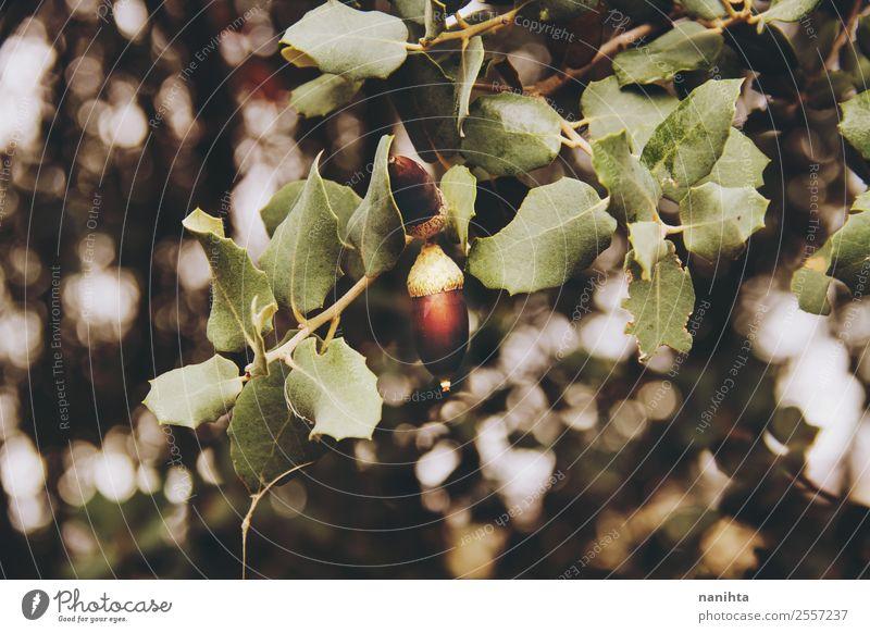 Eichel- und Baumblätter im Herbst Umwelt Natur Sonnenlicht Winter Blatt Eicheln Unschärfe Wald ästhetisch authentisch einfach frisch schön natürlich neu wild