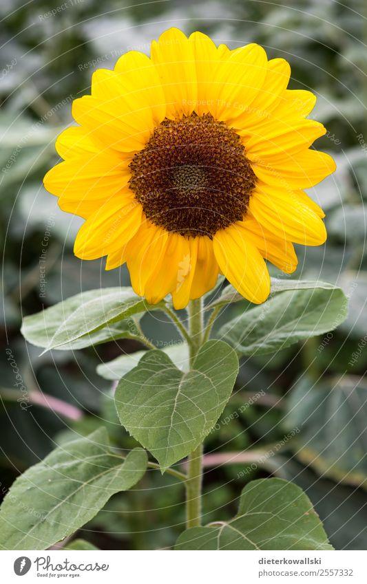 Sonnenblümchen Natur Sommer Pflanze Landschaft Blume Umwelt Wachstum Umweltschutz Sonnenblume Umweltverschmutzung Nutzpflanze