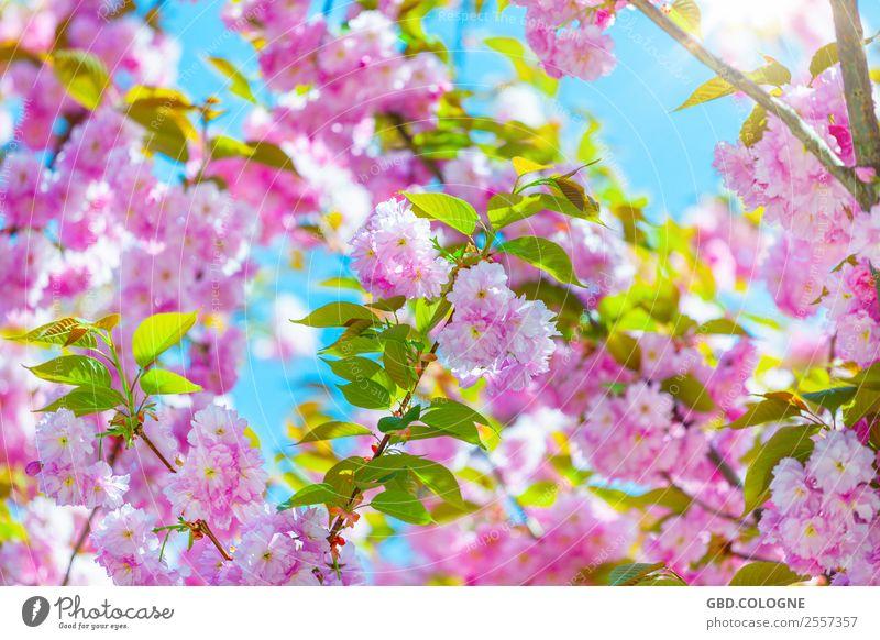 Kirschblüten - Japanische Blütenkirsche [10042011_0018] Umwelt Natur Landschaft Pflanze Sonne Frühling Schönes Wetter Baum Nutzpflanze Garten Park natürlich
