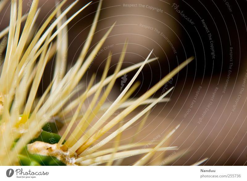Schmerzliche Dinge, nah betrachtet, können manchmal schön sein. Natur Pflanze Spitze exotisch stachelig Kaktus Stachel filigran