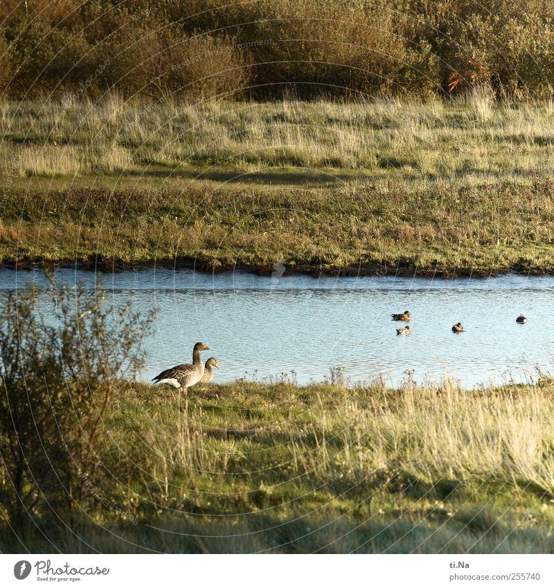 im Gänsemarsch blau grün schön Landschaft ruhig Tier gelb Herbst Gras Schwimmen & Baden Vogel Zusammensein wild Tourismus Wildtier Sträucher