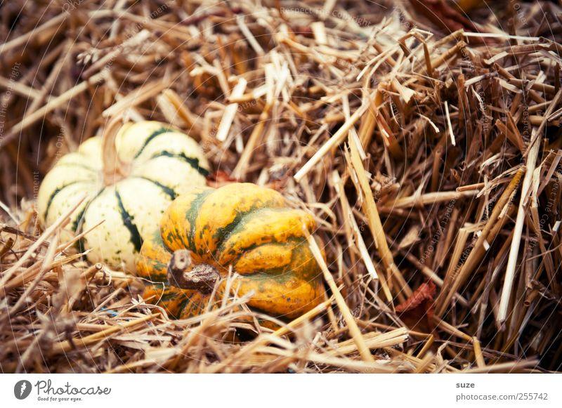 2 im Stroh gelb Herbst klein Feste & Feiern natürlich Lebensmittel Dekoration & Verzierung niedlich rund Gemüse Bioprodukte herbstlich Halloween Stroh Kürbis Vegetarische Ernährung