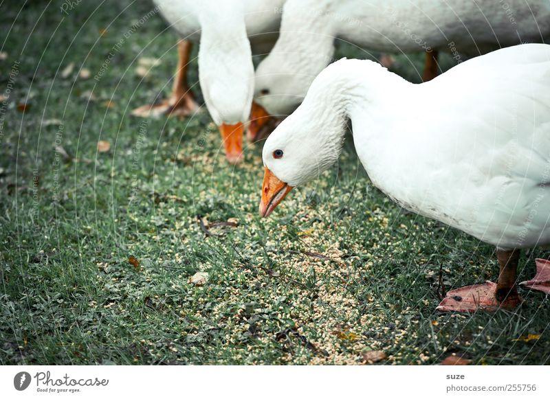Gans und gar ... Umwelt Natur Tier Wiese Nutztier Vogel 3 Tiergruppe Fressen frei Glück Neugier wild grün weiß Landleben Korn Federvieh tierisch freilaufend