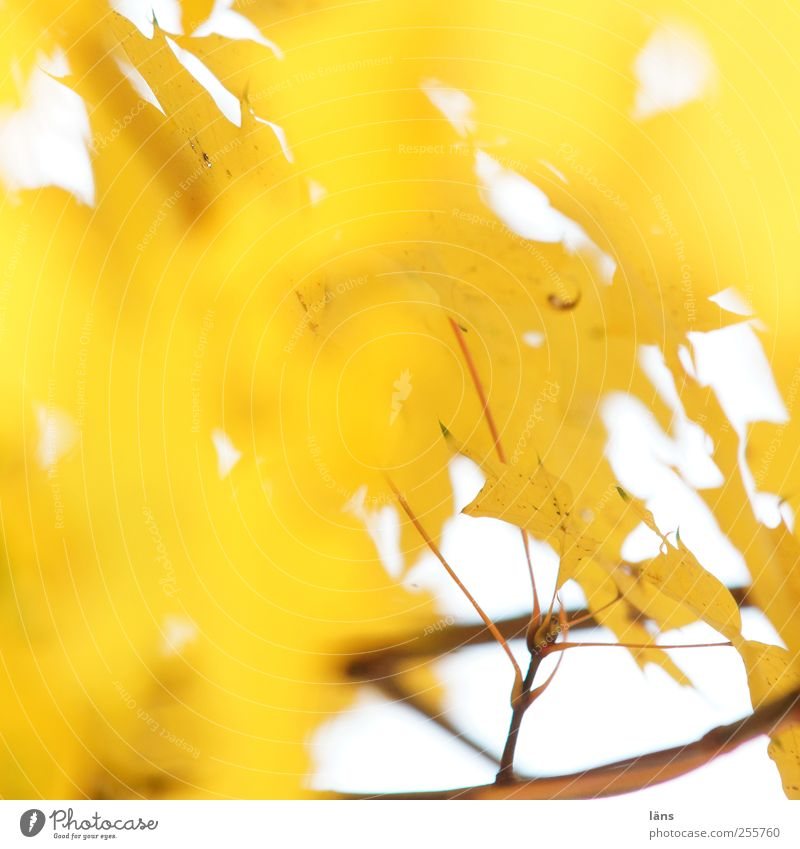 gelb Umwelt Pflanze Herbst Baum Blatt leuchten gold Wandel & Veränderung Ast menschenleer Strahlend Farbfoto Textfreiraum links Textfreiraum oben Sonnenlicht